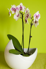 Orchid in white flowerpot
