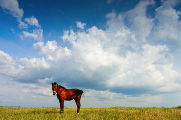 Horse on field with blue sky and white clouds