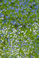 Tiny Viola's Lawn / Лужайка с полевой фиалкой двуцветной