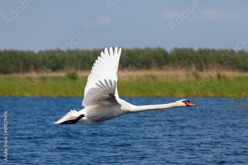 Papiers peints Cygne Swan fly over water