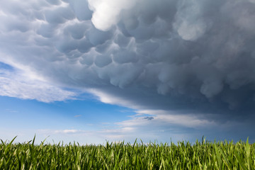 Mammatus clouds above a green grass