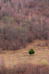 Isolated fir in forest
