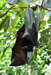 Big black bats on a tree