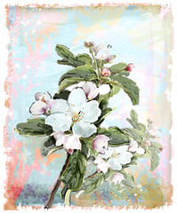Apple flower blossoms in full bloom