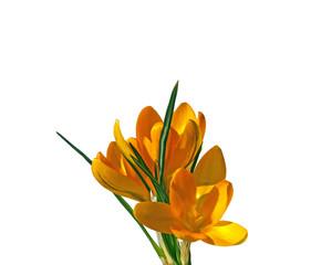Yellow flowers of crocus isolated