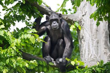 Schimpanse auf einem Baum