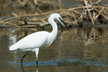 A white Western Reef Heron (Egretta gularis) that just missed on