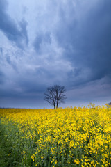 stormy sky over yellow rapeseed flower field
