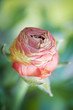 Beautiful ranunculus blossoming macro