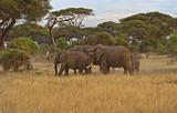 Afrykańskie słonie - 64834281