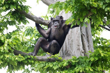Schimpanse im Baum