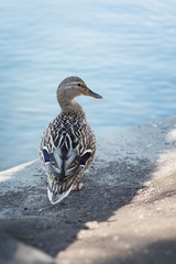 Duck on wildlife background
