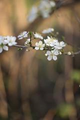 Pastel tones Spring blossom macro during sunrise