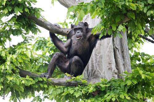 Poster Aap Schimpanse im Baum