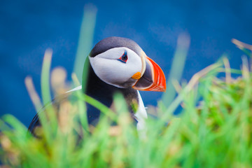 Atlantic Puffin on Latrabjarg Cape, Vestfirdir, Iceland.