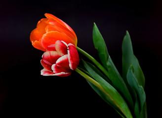 Scarlet and Orange Tulips