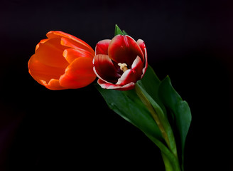 Scarlet and Orange Tulips