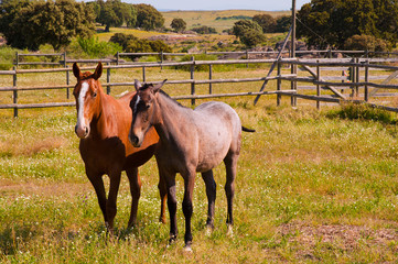 Horses in the farm field. Spanish purebred
