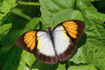 Yellow orange tip butterfly