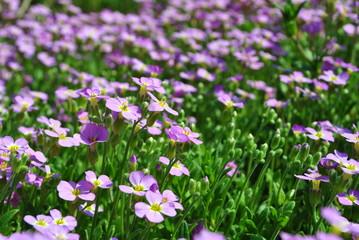 Fioletowa łąka