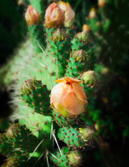 Prickly pear plant (cactus) in blossom after rain