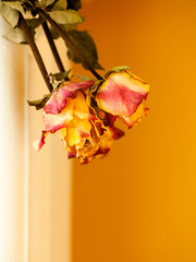 Dried red yellow roses on orange wall background