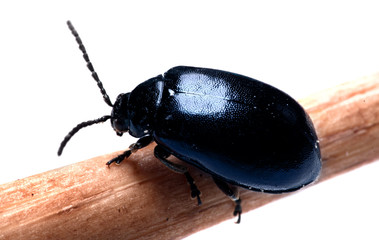 dung Beetle dark blue black isolated white background