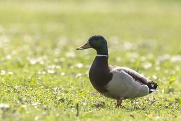 Mallard or Wild Duck (Anas platyrhynchos) foraging