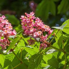 rosa Kastanienblüte