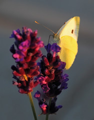 Butterfly - Brassicae Pieris on Lavandula