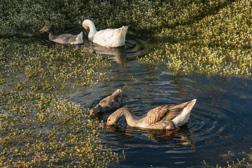 domestic geese with goslings feeding on water plants