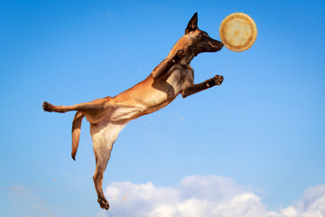 Malinois Belgian Shepherd dog