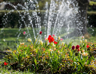 Beautiful tulips and fountain