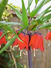 Crown Imperials (Fritillaria imperialis)