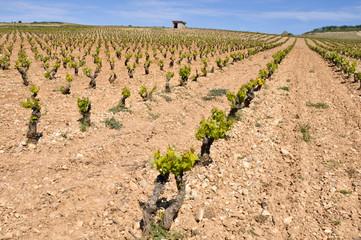 Viñedo en La Rioja (España)