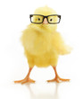 Cute little chicken in glasses - 64852649