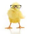 Leinwanddruck Bild - Cute little chicken in glasses