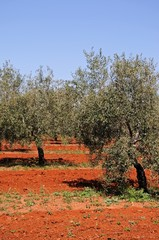 Olive grove with red soil, Andalusia © Arena Photo UK