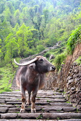 Lone water buffalo blocking the path