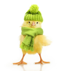Cute little chicken isolated