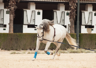 Training white horse on longe. Andalisia, Spain