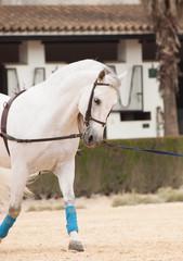 Training white horse on longe. Andalisia, Spain