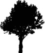 deciduous tree silhouette on white background