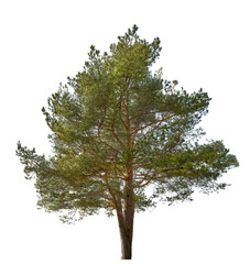 single green color pine isolated on white