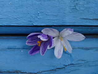 lilac and white Crocus on the blue wooden background