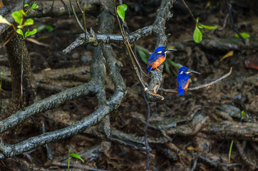 Azure Kingfisher