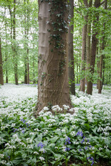 scented wood with wild garlic flowers