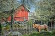 Springtime in Sweden - Ardenner horse enjoying a sunny day