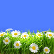White flowers with grass and copy-space on blue background