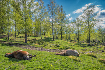 Springtime in Sweden - Ardenner horses resting on a sunny day